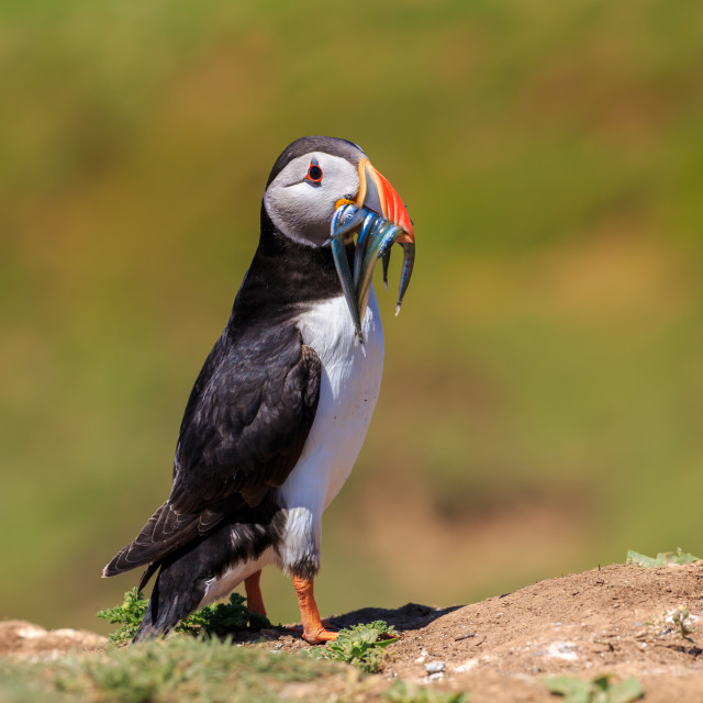 """""""An Atlantic puffin with a bill of sand eels"""" stock image"""