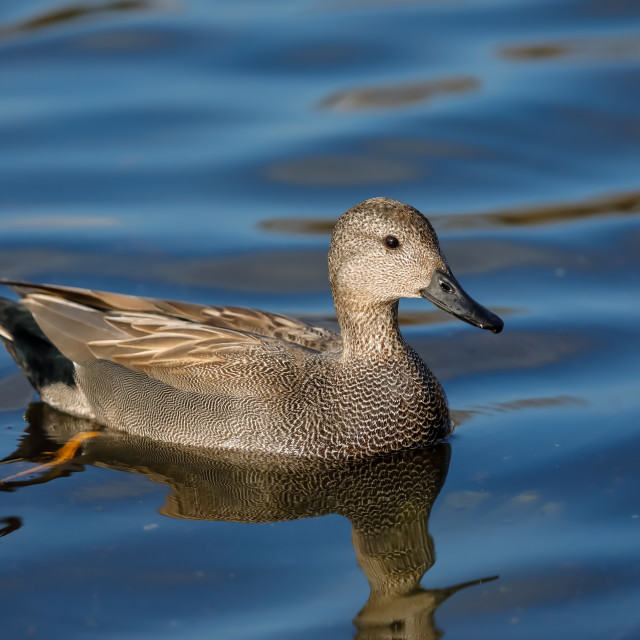 """""""A Gadwall in blue water"""" stock image"""