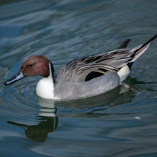 """""""The Northern pintail duck"""" stock image"""