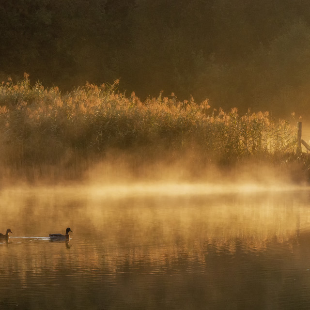 """Two Mallard ducks on a misty lake at sunrise"" stock image"