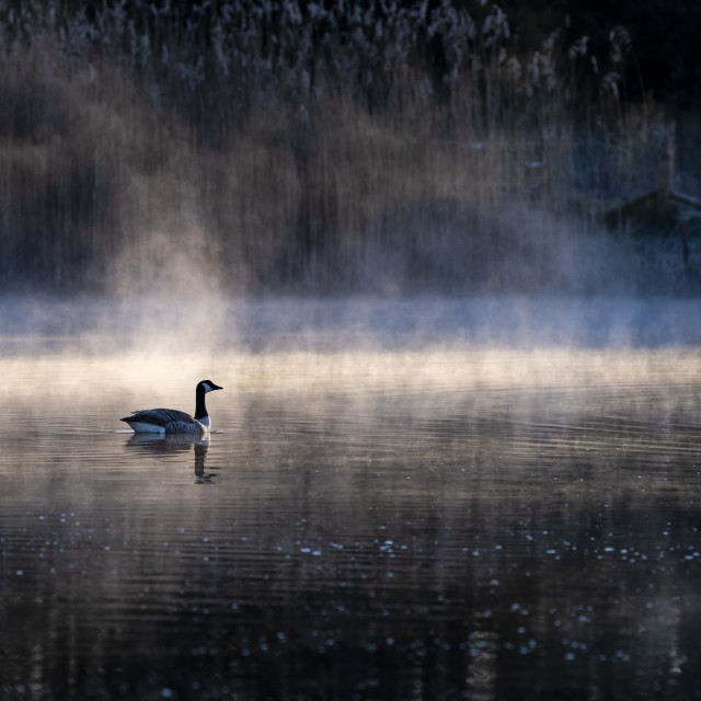"""Canada Goose on a misty lake"" stock image"