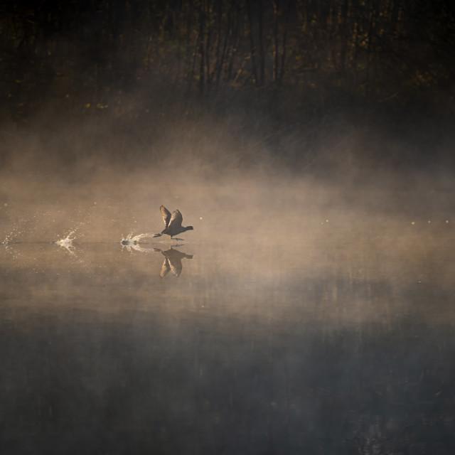 """Moorhen running on water"" stock image"