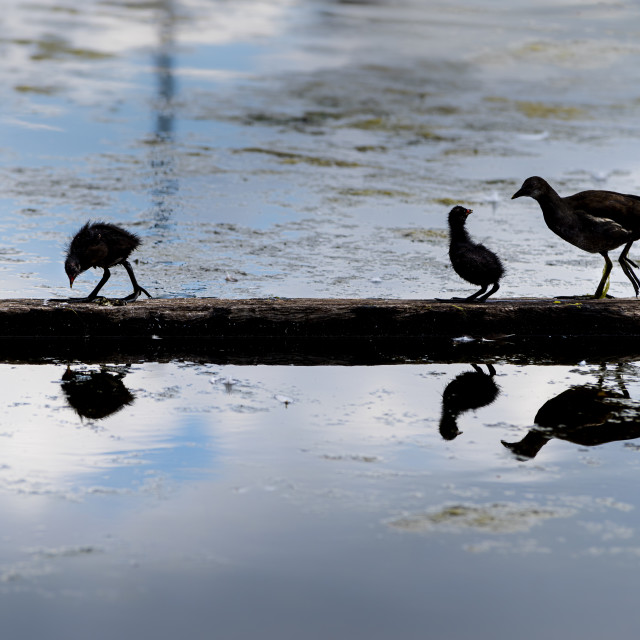 """""""Common Moorhen on a log with young"""" stock image"""