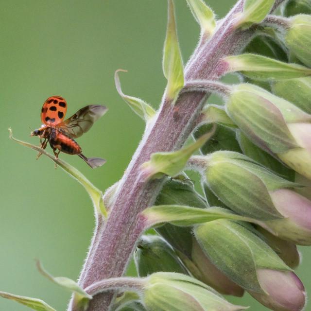 """Ladybird Take Off"" stock image"