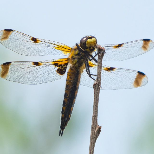 """""""A Four Spotted Chaser Dragonfly"""" stock image"""