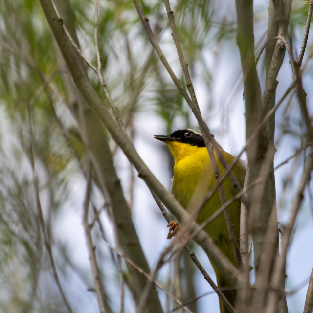 """Common Yellowthroat"" stock image"