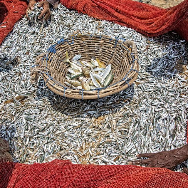 """Morning catch of small fish caught on the coast of Sri Lanka"" stock image"