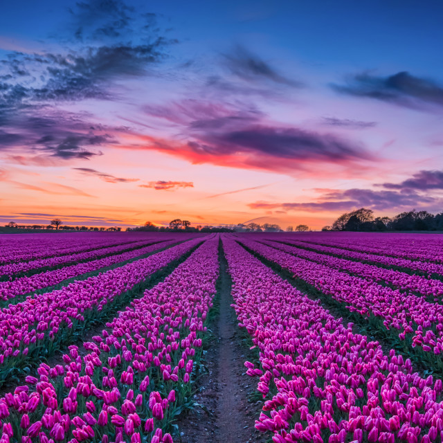 """Sunset over the Tulip Field"" stock image"