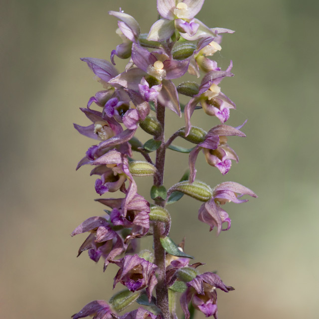"""Broad-leaved Helleborine subsp. Epipactis tremolsii, wild orchid, Andalusia, Spain."" stock image"