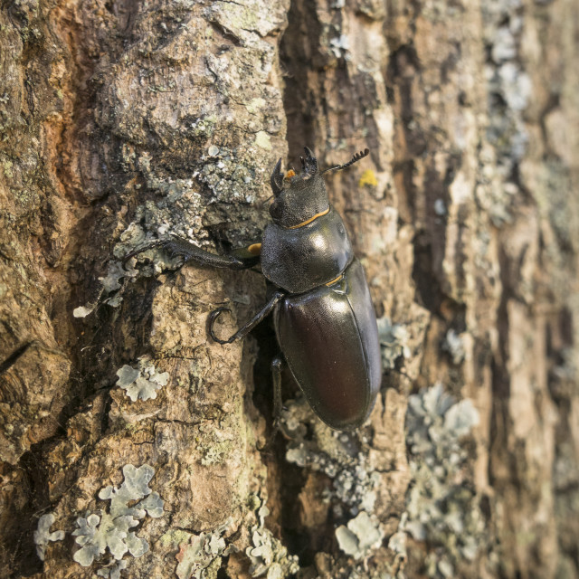 """European Stag Beetle, (Lucanus cervus) Climbing up an oak tree"" stock image"