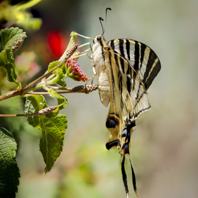 """Southern Scarce Swallowtail, Iphiclides feisthamelii butterfly"" stock image"