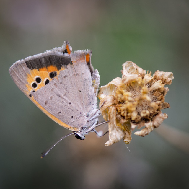 """Small Copper, Lycaena phlaeas resting."" stock image"