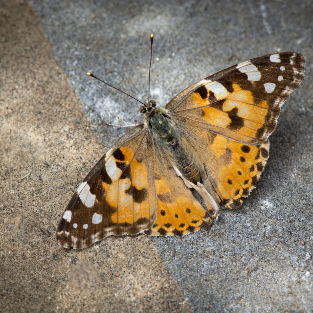 """Painted lady, butterfly, vanesa cardui,"" stock image"
