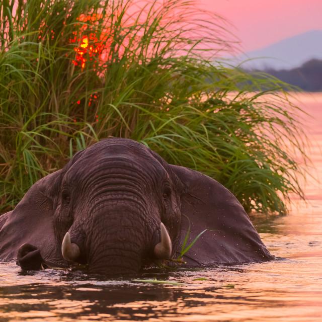 """""""Swimming elephant , Mana Pools National Park, Zimbabwe"""" stock image"""