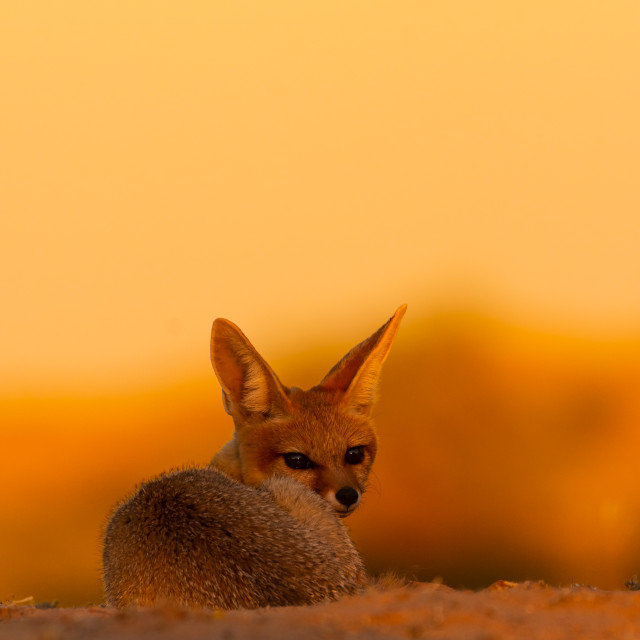 """Cape fox portrait at sunset"" stock image"