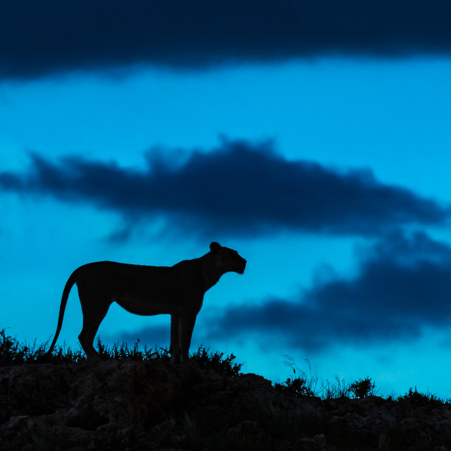 """Lioness silhouette against the blue sky"" stock image"