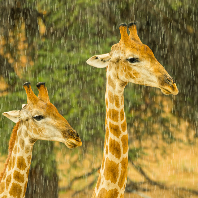 """A pair of giraffe in the rain"" stock image"