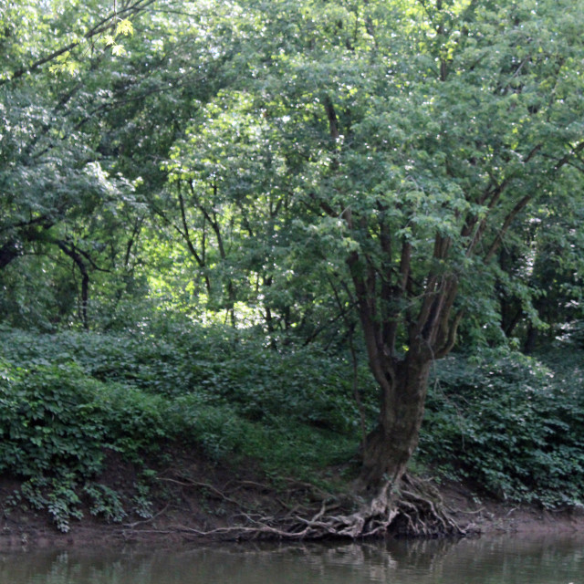 """tree roots on the river bank"" stock image"
