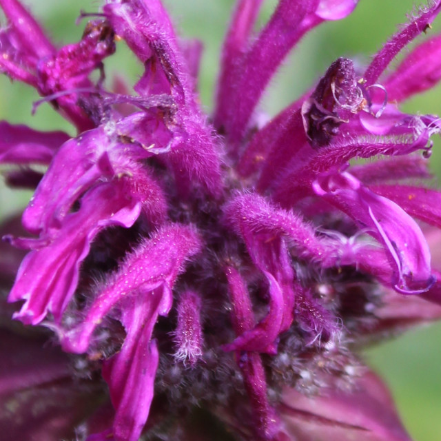 """Purple Bee Balm Petals"" stock image"