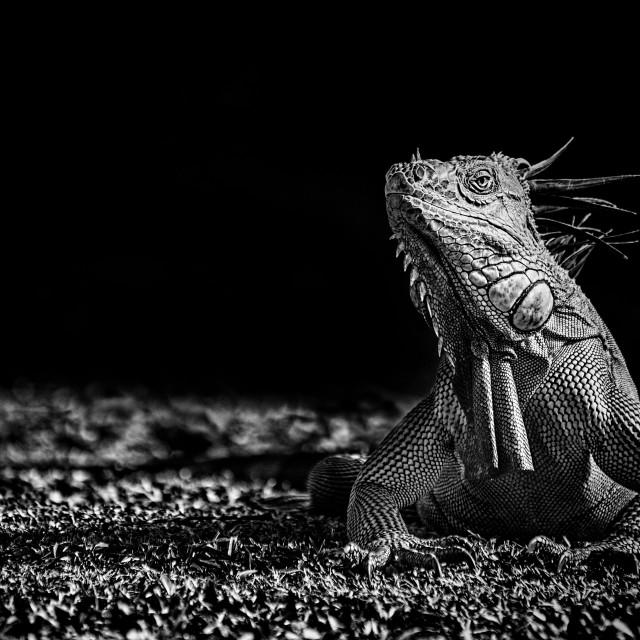 """Green Iguana (monochrome)"" stock image"