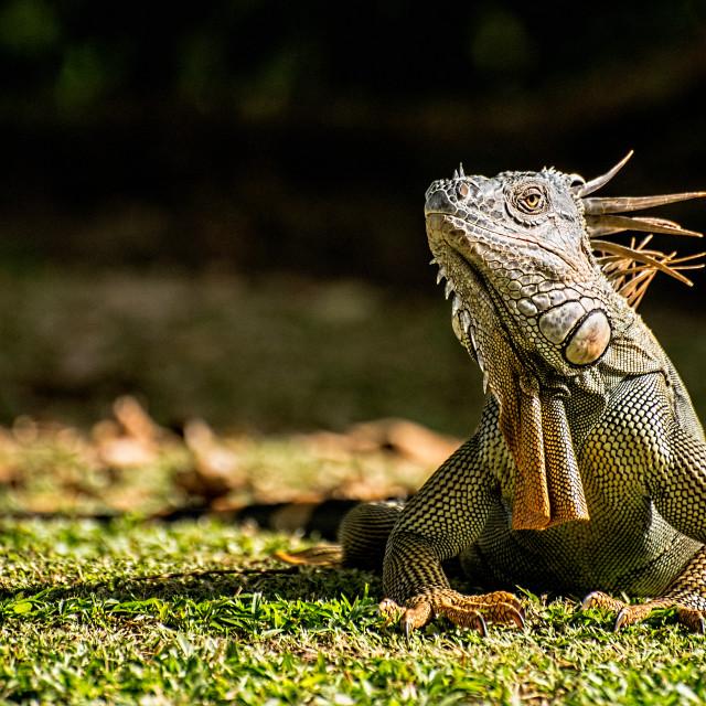 """""""green iguana"""" stock image"""