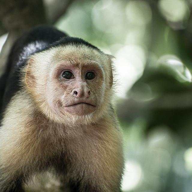 """""""White Faced Monkey"""" stock image"""
