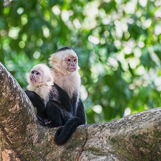 """""""White Faced Monkey - Mother and Child"""" stock image"""