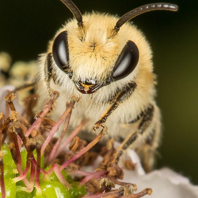 """Collete sp bee"" stock image"