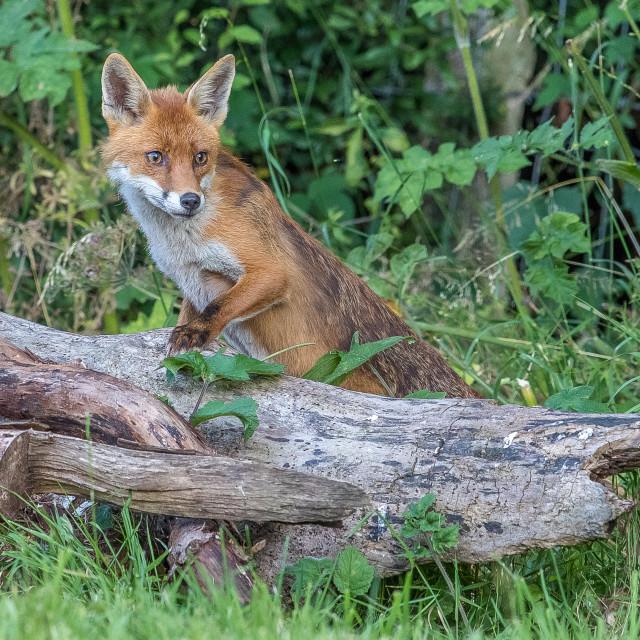 """fox cub on log"" stock image"