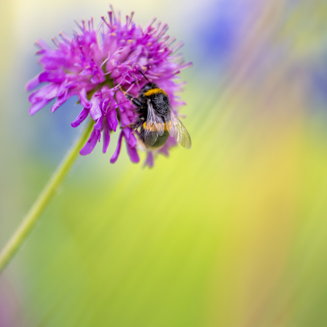 """""""White-Tailed Bumblebee on Scabious flower"""" stock image"""