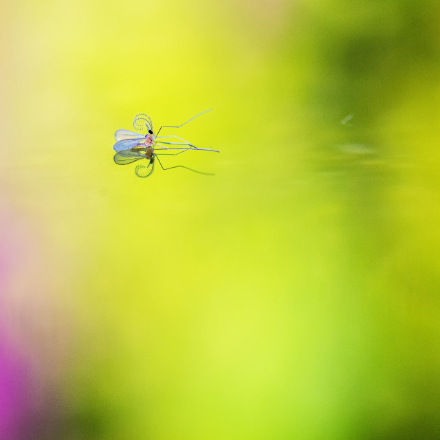 """""""Gall midge emerges from the water"""" stock image"""
