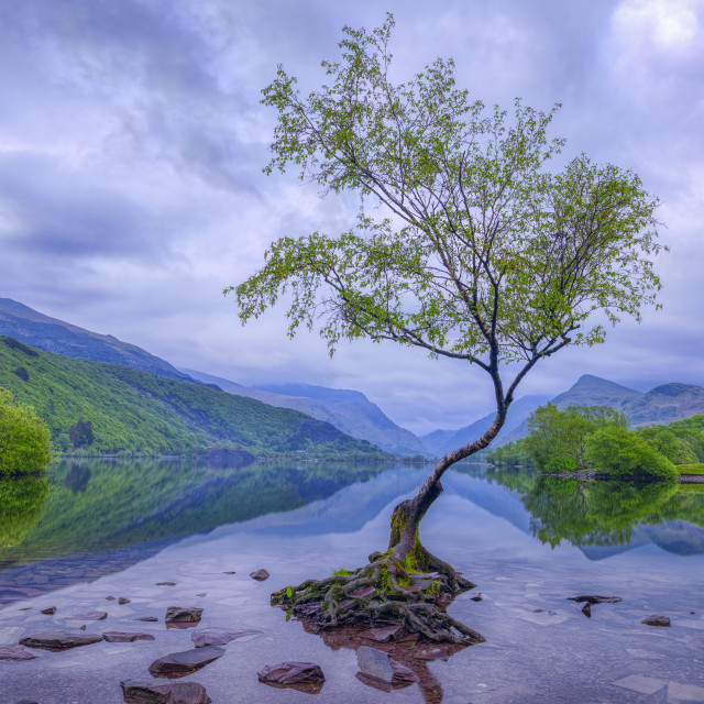 """The Lonely Tree at sunrise in Llyn Padarn near Llanberis, Wales,"" stock image"