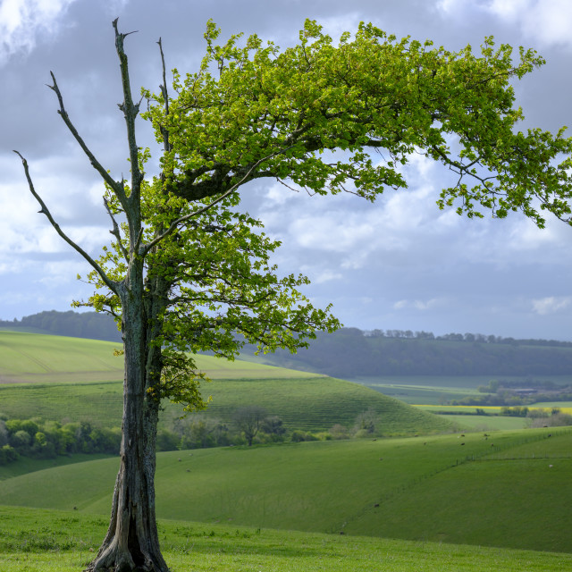 """""""Windswept tree on the South Downs National Park, UK"""" stock image"""