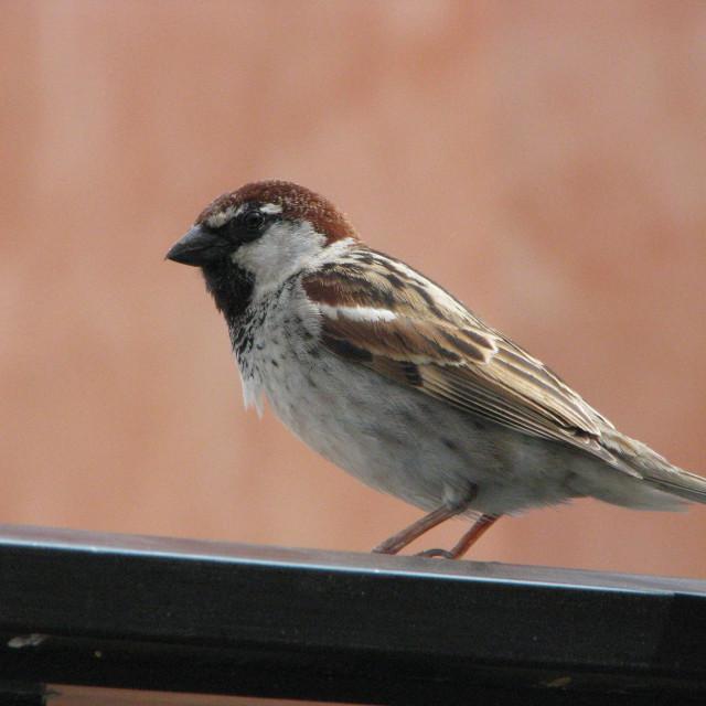 """Italian Sparrow in Malta"" stock image"