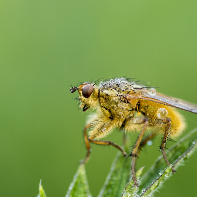"""Yellow Dung Fly"" stock image"