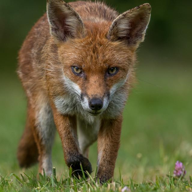 """""""Red fox (Vulpes vulpes) , cub"""" stock image"""