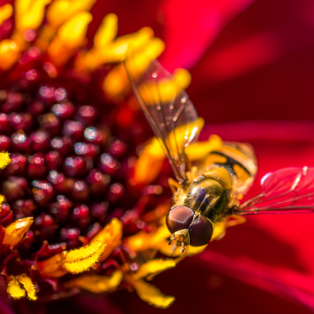 """""""Hoverfly on a Dahlia"""" stock image"""