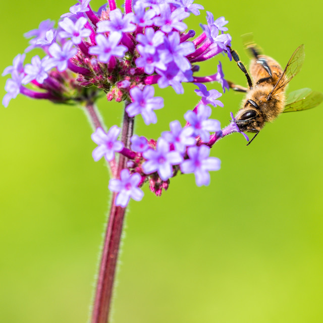 """""""Bee moving round a Verbena flower"""" stock image"""