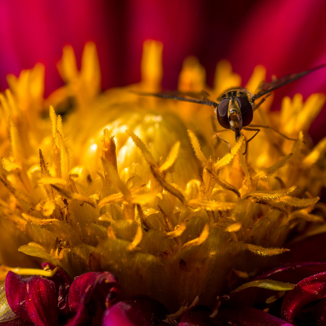 """""""Macro picture of a Hoverfly in the middle of a Dahlia"""" stock image"""