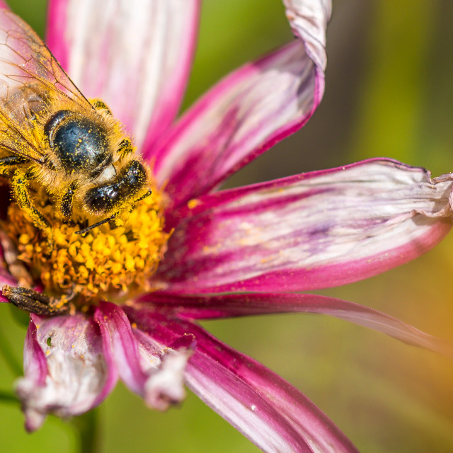 """""""Macro picture of a bee on a flower"""" stock image"""