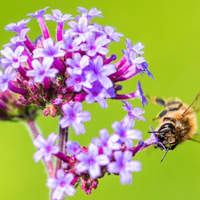 """""""Close-up of a bee collecting pollen from a Verbena flower"""" stock image"""
