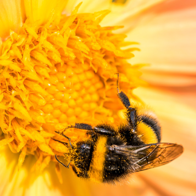 """""""Close-up of a bee on a Dahlia"""" stock image"""