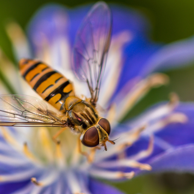 """""""Macro shot of a hoverfly on a Clematis flower"""" stock image"""