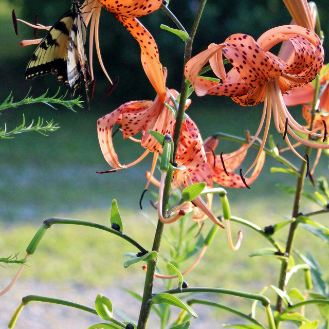 """yellow butterfly on tiger lily"" stock image"
