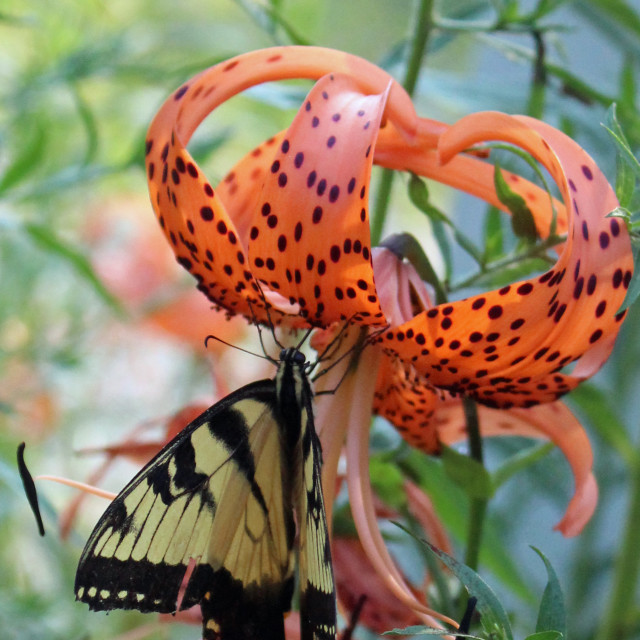 """black and yellow butterfly on tiger lily flower"" stock image"