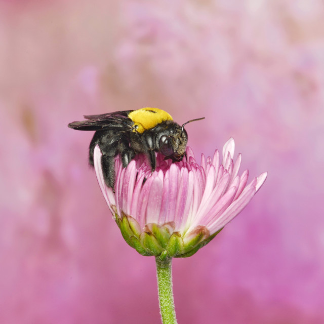 """Sweet Bee Surrounded By Lovely Pink"" stock image"