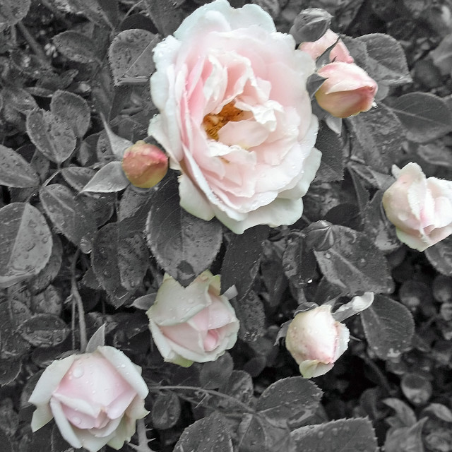 """""""pink roses"""" stock image"""