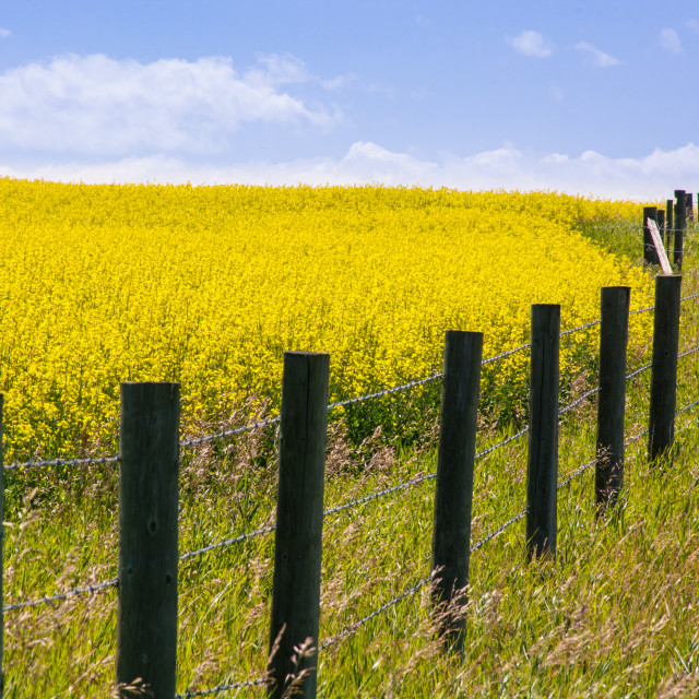 """Fenced Canola Field"" stock image"