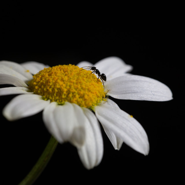 """Lone ant on daisy"" stock image"