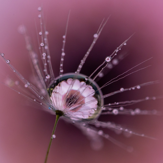 """Pink daisy droplet"" stock image"